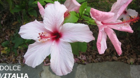 Hibiscus of Orosei